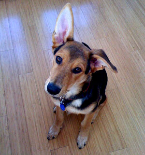In lieu of a television review this week, please enjoy this picture of my dog Pilot - yes, his ears really are that big.